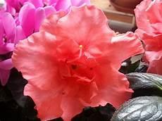 fiori azalee fiori fiori azalea o rododendro
