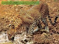Dhezna World Perbedaan Jaguar Dan Leopard Macan Tutul