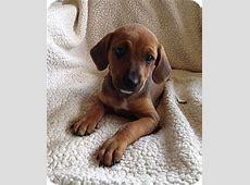 MADDIE   Adopted Puppy   West Palm Beach, FL   Dachshund