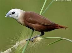 Gambar Burung Pipit Bondol Dan Gelatik Indonesia