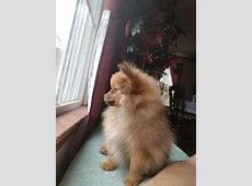 Pomeranian puppy dog for sale in Siler City, North Carolina
