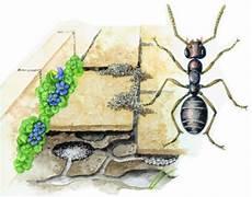 ameisen im beet ameisen vertreiben und bek 228 mpfen wundergarten