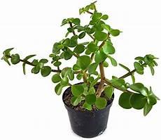 Echter Zimmerpflanze Kaufen - speckbaum kaufen echte pflanzen de