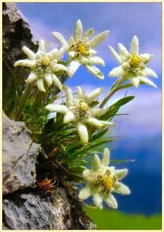 fiore edelweiss edelweiss stella alpina