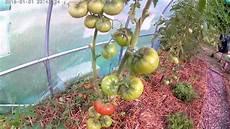 pourquoi je taille les pieds de tomates