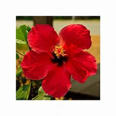 Hibiscus Plantes Et Jardins