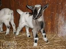 vendo animali da cortile vendita cucciolo capra da allevatore a grosseto animali