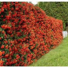 Pyracantha Ou Buisson Ardent Pour Haie Ornementale