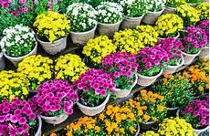 herbstblumen balkon winterhart chrysantheme im topf 187 die besten pflegetipps