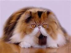 gatti persiani immagini i colori dei gatti persiani gattipersiani it gatti