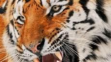 Satu Di Antara Lima Ekor Harimau Amur Terancam Diburu