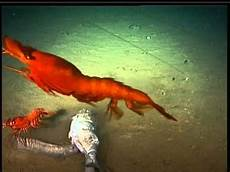 abundance of rare deep sea life found in new hebrides trench video youtube