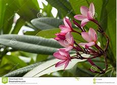 fiore frangipane fiore frangipane o albero rosa di plumeria fotografia