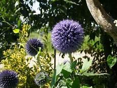 fiore a palla orti in progress echinops un tocco di