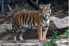 Harimau Malaya Zoo San Diego Bunuh Pasangan Ketika Cubaan