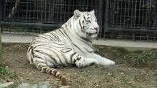 Seekor Harimau Putih Langka Di Jepang Menyerang Penjaga