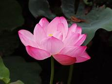 Lotus Meaning Lotus Flower Symbolism The Beautiful