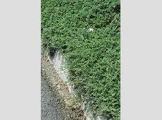 Wilton Blue Rug Juniper (Juniperus horizontalis 'Wiltonii