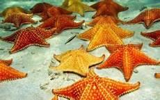 16 Gambar Anatomi Bintang Laut Kembang Pete