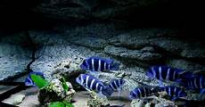 Mengenal Ikan Frontosa Si Ikan Cichild Dari Danau