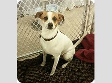 Hicup   Adopted Dog   Homestead, FL   Jack Russell Terrier