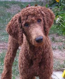 poodle haircut pictures 140 poodle haircuts your pet will definitely love