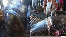 Ngeri Setelah Piton Telan Petani Kini Ikan Kerapu