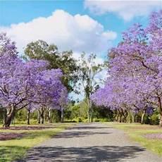 jual paket 10 bibit bunga pohon sakura tabebuya ungu muda di lapak yusuf dz yusufdz461