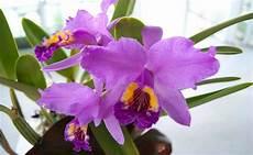 dibujos de la flor nacional de venezuela orquidea venezolana imagui