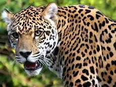 the roar of the jaguar jaguar screaming growling jaguar