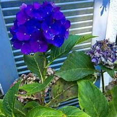 hortensien umpflanzen september september sonnen sonntagsfr 252 hst 252 ck im garten pflanzen