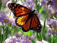Beautiful Cool Wallpapers Butterflies In Flowers