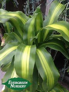 Dracaena Fragrans Massangeana Evergreen Nursery