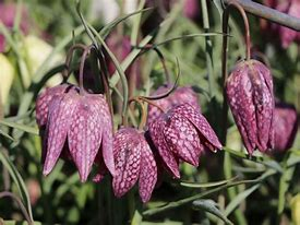 Image result for Fritillaria meleagris
