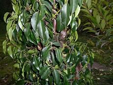 Kirschlorbeer Prunus Hat Seit Dem Pflanzen Braune Und