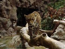 sur la terre des jaguars regard eloigne amazonie quot terre de visions quot 4 pourquoi