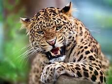 jaguar ou leopard india s serial killer is a leopard