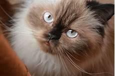 himalayan cats himalayan cat