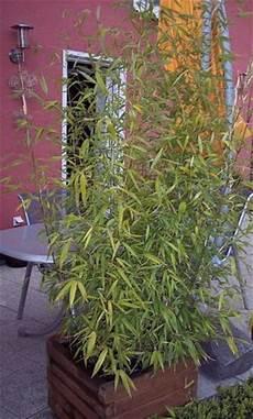 bambus im k 252 bel schneiden mein sch 246 ner garten forum