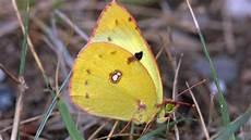 Weißer Schmetterling Bedeutung - schmetterling des jahres bund e v