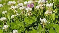 klee im rasen beseitigen klee beseitigen pflanzen f 252 r nassen boden
