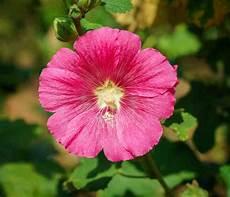 hibiscus entretien hibiscus d int 233 rieur conseils d entretien culture et