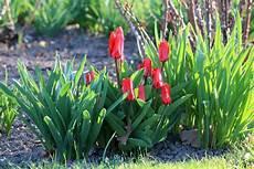Tulpen Pflanzen Wann Und Wie Sie Tulpenzwiebeln Richtig