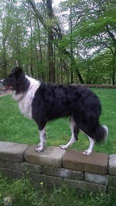 clipping a bc general border collie discussion bc boards