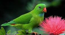 Gambar Burung Serindit Jantan Dan Betina Gambar Burung