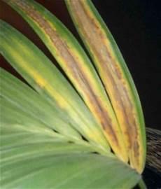 kentia palme braune blätter was ist mit meiner kentia palme los pflanzenkrankheiten