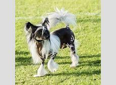 Chinese gekuifde naakthond   OMyDog
