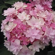 And Me Malvorlagen Romantis Hydrangea Macrophylla You And Me Hortensia
