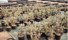 Winter Kaktus Winterharte Kakteen Und Andere Sukkulenten