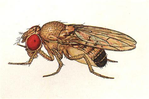 Drosophila Melanogaster Mutations